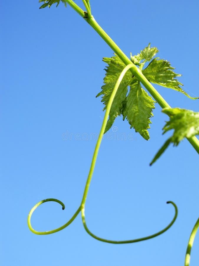 Feuilles de raisins et de vin, récolte photo stock