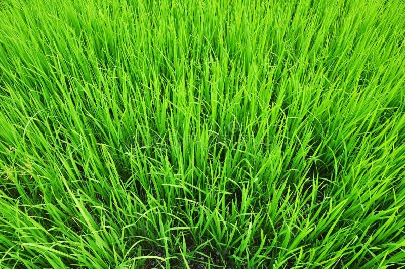 Feuilles de riz photographie stock