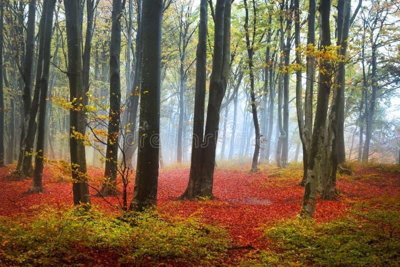 Feuilles de rouge dans une forêt brumeuse d'automne images libres de droits
