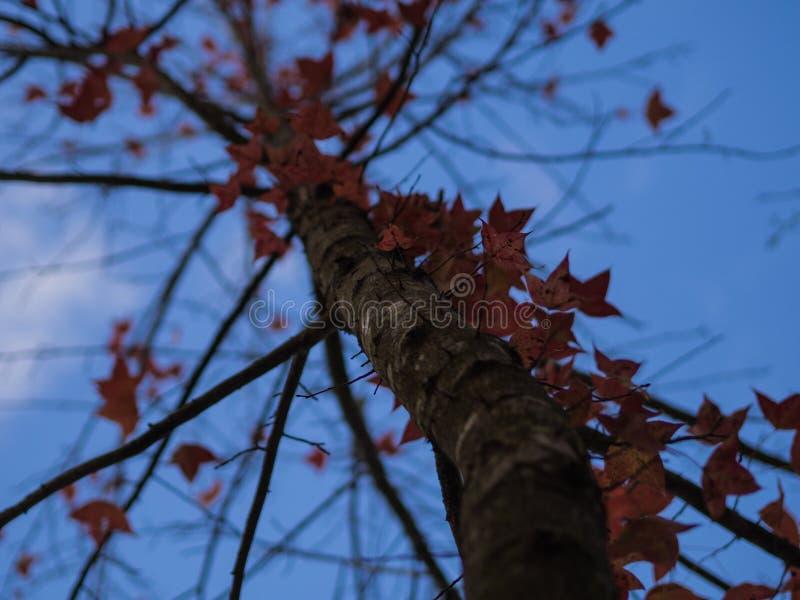 Feuilles de rouge et ciel bleu photos libres de droits