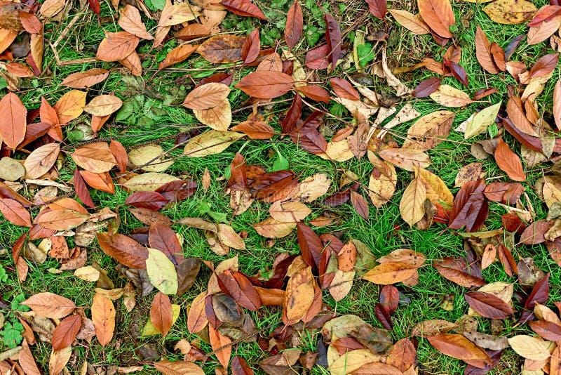 Feuilles de rouge se trouvant sur l'herbe verte photographie stock