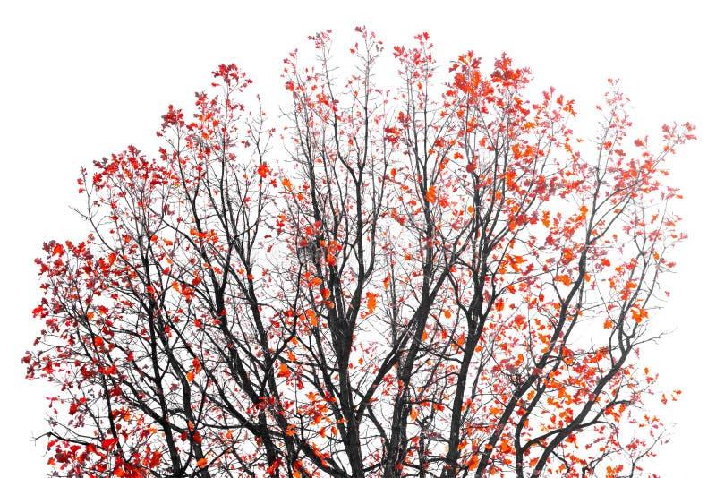 Feuilles de rouge sur des branches d'arbre image libre de droits