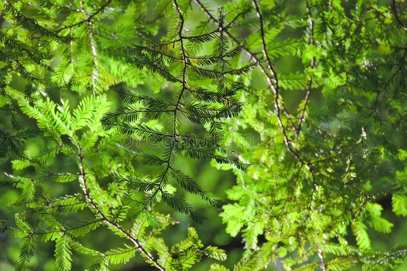 Feuilles de séquoia, voûte photos libres de droits