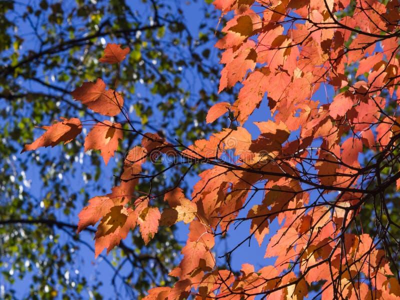 Feuilles de tataricum tatar d'?rable ou d'Acer en automne contre la lumi?re du soleil avec le fond de bokeh, foyer s?lectif, DOF  photos libres de droits