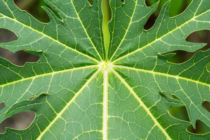 Feuilles de texture de papaye photos stock