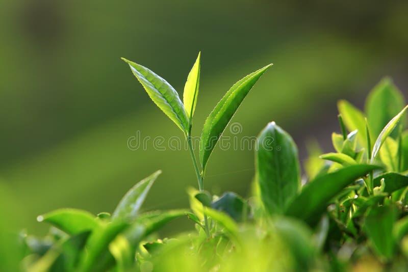 Feuilles de thé images libres de droits