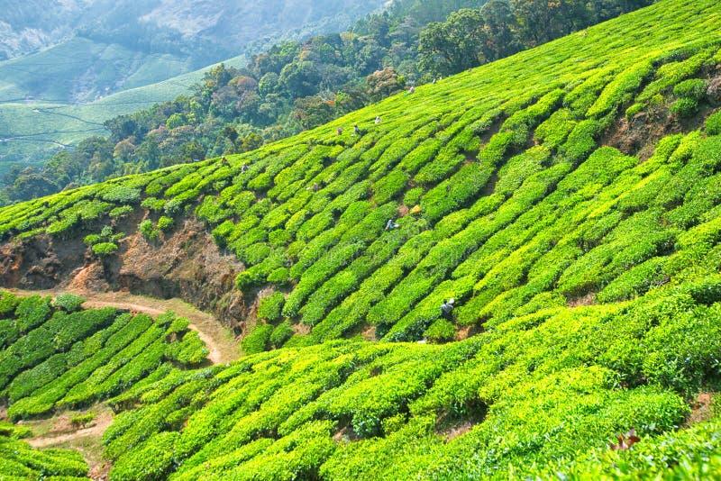 Feuilles de thé de cueillette au domaine de thé de Kolukkumalai, Munnar, Kerala, Inde photographie stock libre de droits