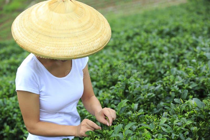 Feuilles de thé de cueillette de femme image libre de droits