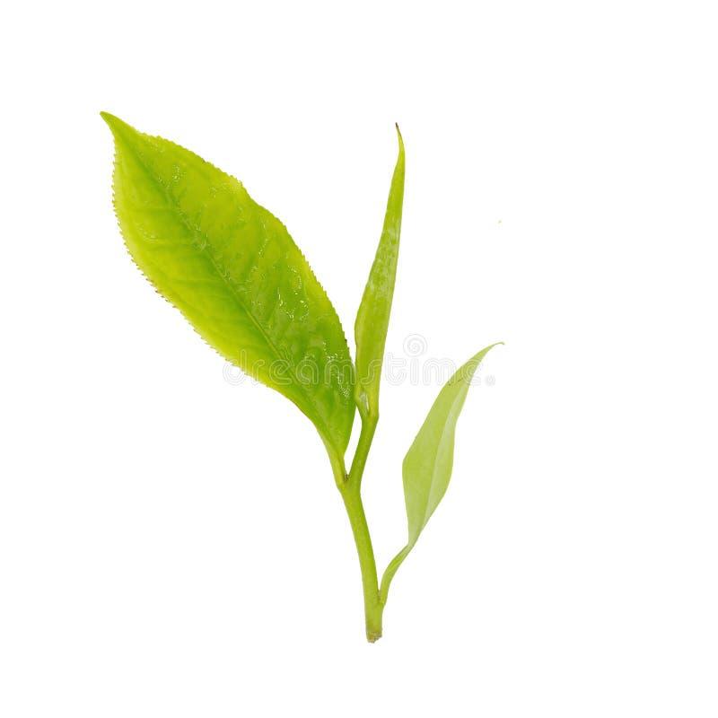 Feuilles de thé fraîches d'isolement sur le fond blanc photographie stock libre de droits