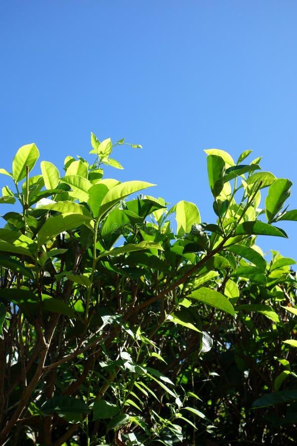 Feuilles de thé sur Bush rougeoyant au soleil image libre de droits