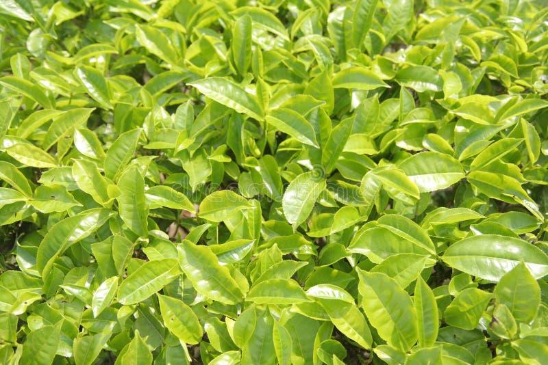 Feuilles de thé vertes photographie stock libre de droits
