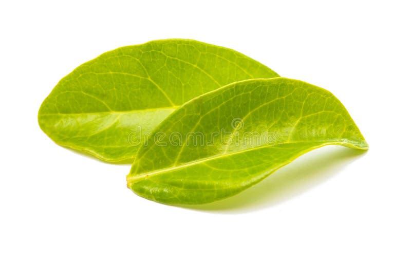 Feuilles de thé vertes d'isolement photo stock