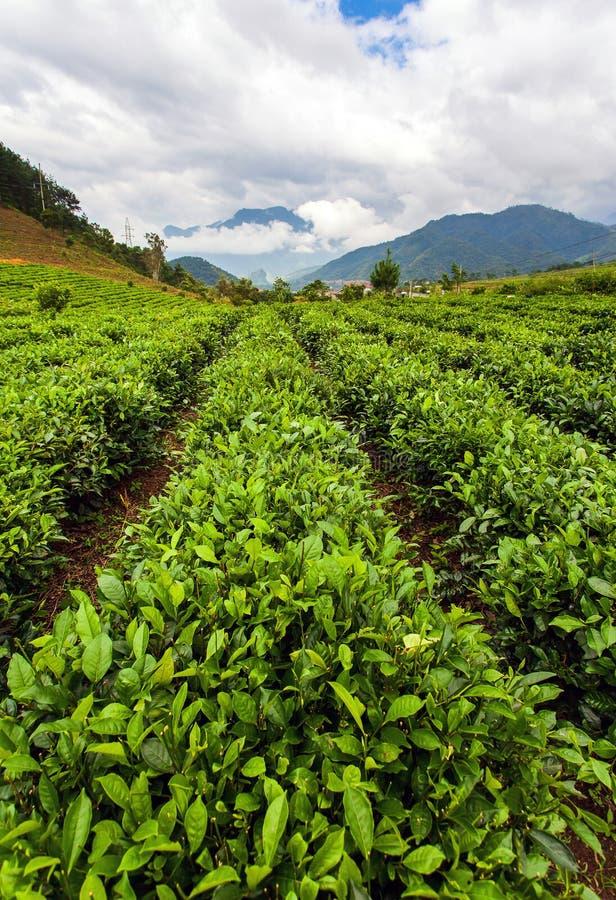 Feuilles de thé vertes Fin vers le haut plantations de thé photos stock