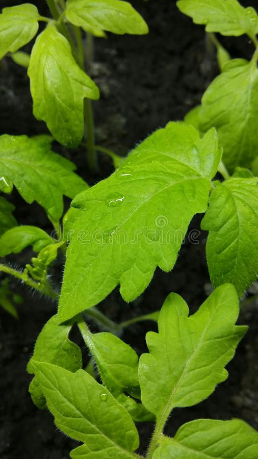 Feuilles de tomate de Yang photographie stock