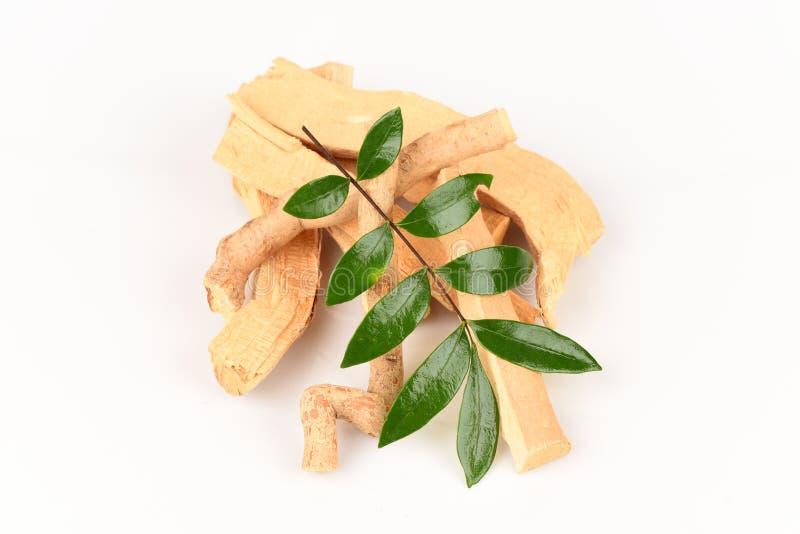 Feuilles de Tongkat Ali (cric de longifolia d'Eurycoma) photographie stock