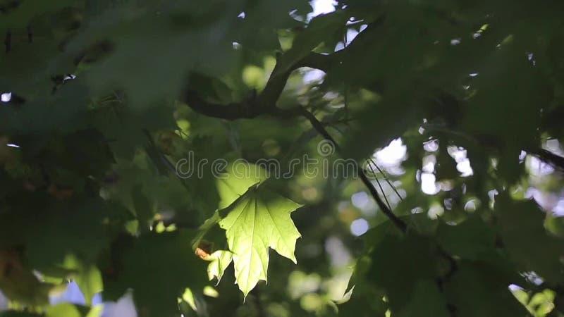 Feuilles de vert à la lumière du soleil rayonnante clips vidéos