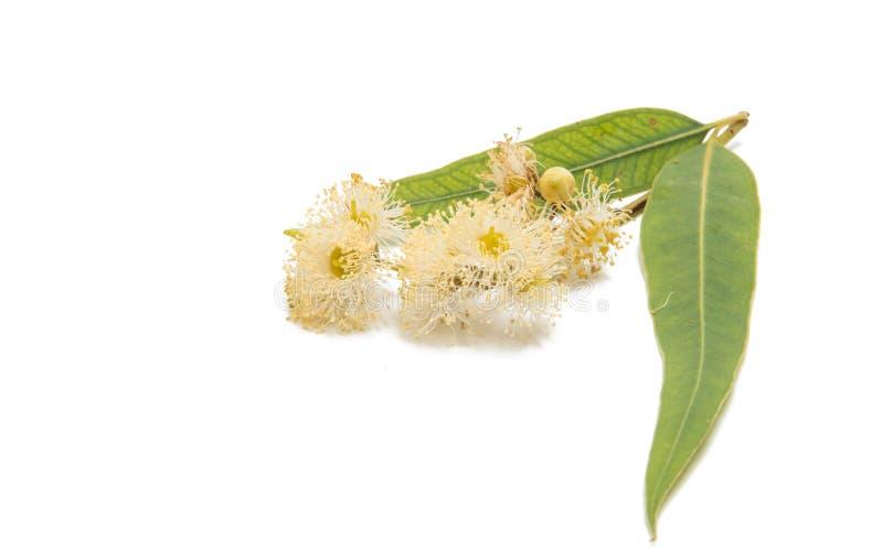 Feuilles de vert d'eucalyptus photos stock