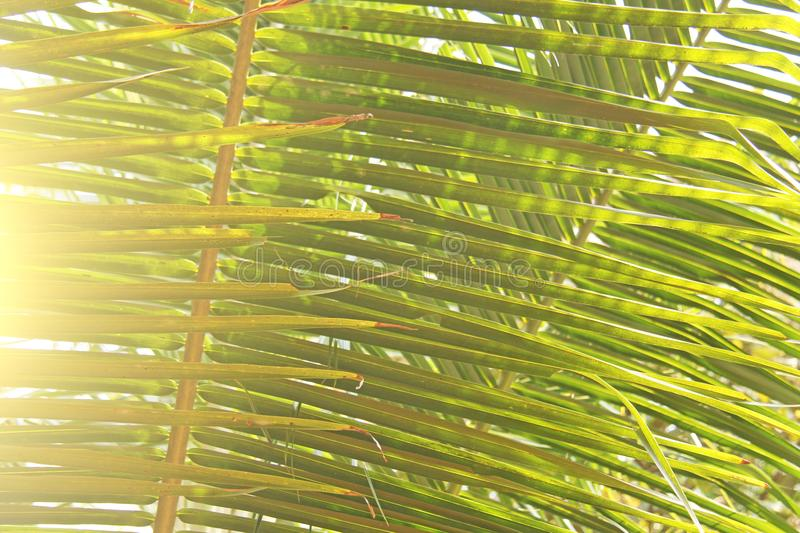 Feuilles de vert d'un palmier et du soleil Backgro tropical exotique photo stock