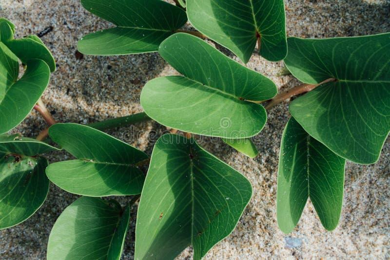 Feuilles de vert d'une plante grimpante sur le sable photos stock