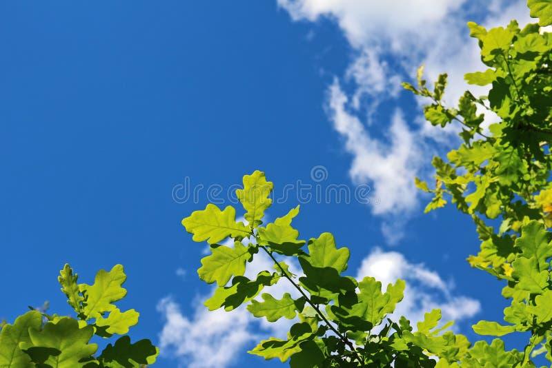 Feuilles de vert de chêne contre le ciel bleu lumineux images libres de droits