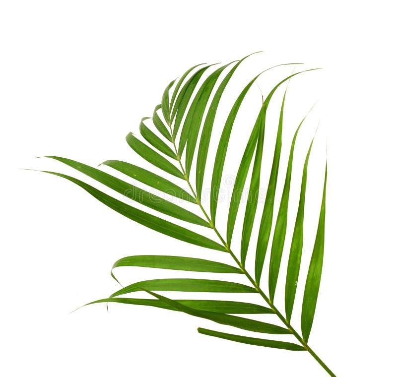 Feuilles de vert de palmier image libre de droits