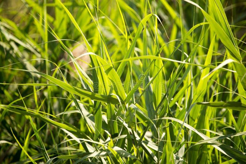 Feuilles de vert de jonc sur la nature comme fond photos libres de droits