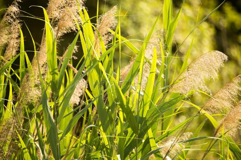 Feuilles de vert de jonc sur la nature comme fond images libres de droits