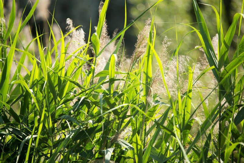 Feuilles de vert de jonc sur la nature comme fond photos stock