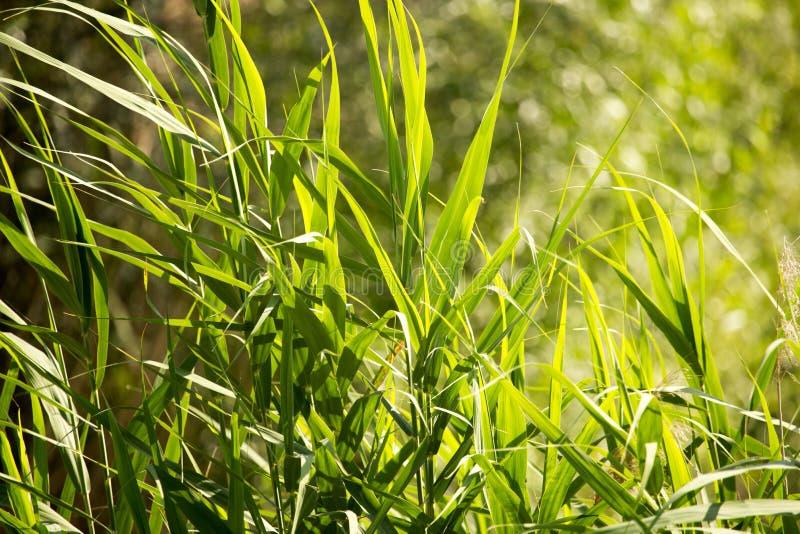 Feuilles de vert de jonc sur la nature comme fond image libre de droits
