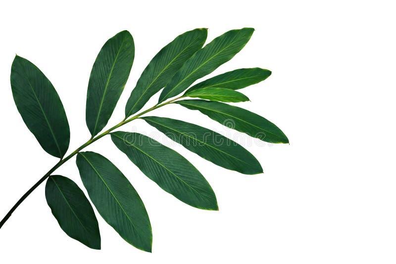 Feuilles de vert de purpurata d'Alpinia de gingembre rouge, forêt tropicale photographie stock libre de droits