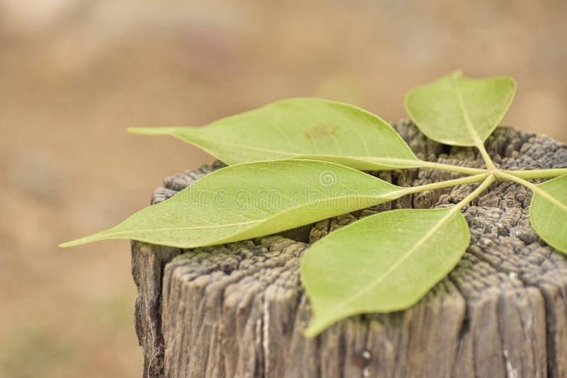 Feuilles de vert se trouvant sur le tronc d'arbre photographie stock