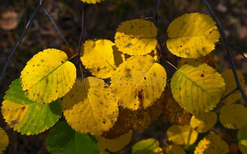 Feuilles de vert de Sunny Highlights On Yellow And dans Forest Autumn Colors, changement de concept de saisons image libre de droits