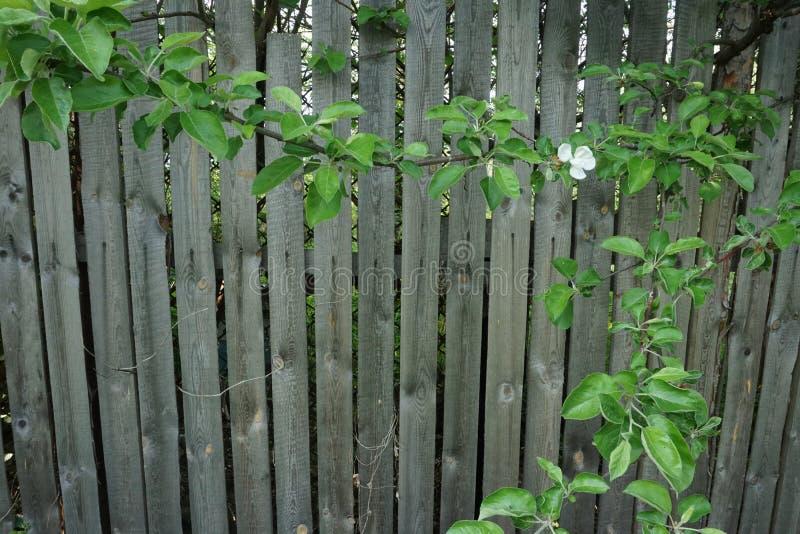 Feuilles de vert sur la barrière en bois photo libre de droits