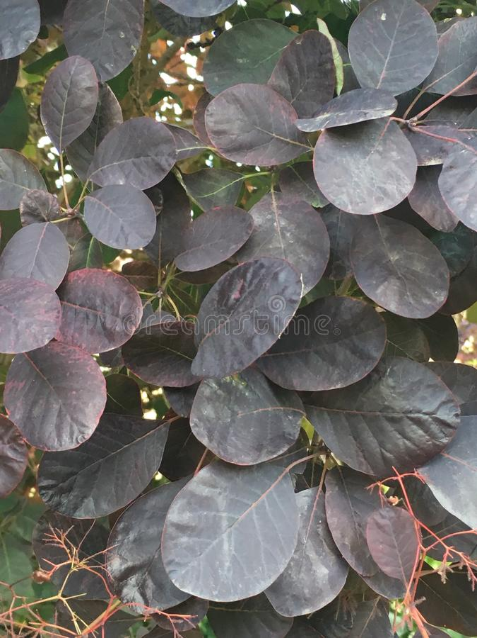 Feuilles denses de Smokebush après pluie avec le bourgeon floral photo libre de droits