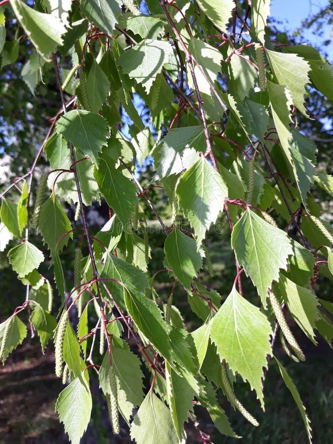 feuilles des branches de bouleau image libre de droits