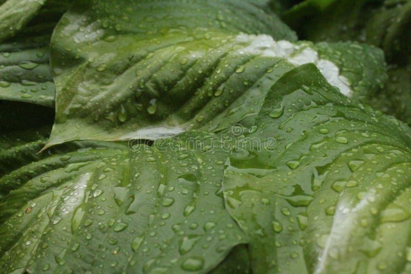 Feuilles des lis après pluie photographie stock