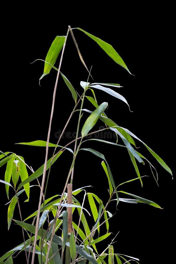 Feuilles en bambou d'isolement sur le fond noir Strictus Nees de Dendrocalamus de feuille ; Les feuilles en bambou vertes convien photos stock