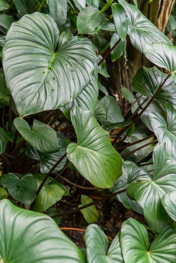 Feuilles en forme de coeur vertes luxuriantes photos stock