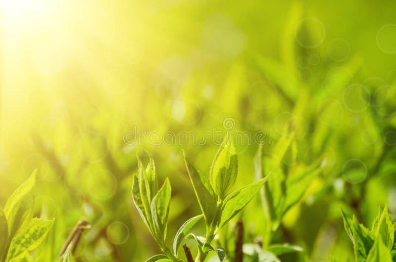 Feuilles ensoleillées de vert photo libre de droits