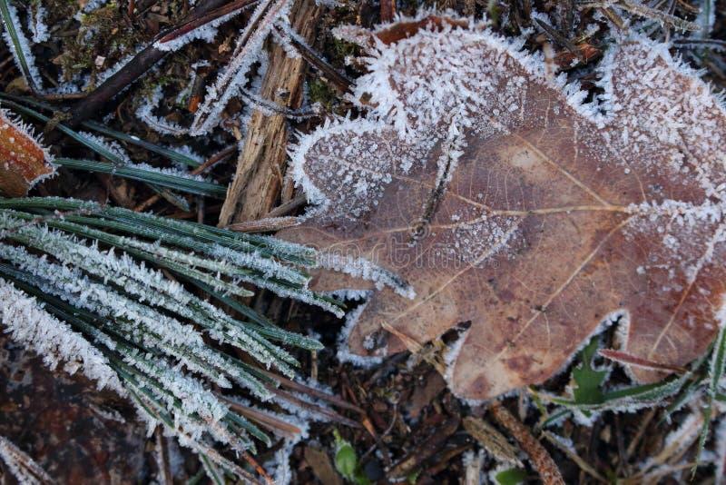 Feuilles et aiguilles dans les cristaux du gel sur la terre froide Forêt congelée photos libres de droits