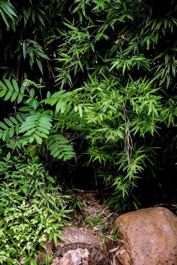 Feuilles et arbustes verts de bambous dans un jardin image stock