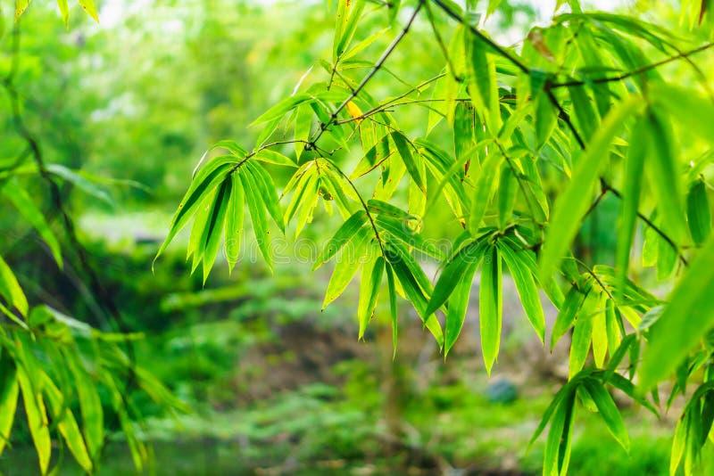 Feuilles et branches naturelles des bambous photos stock