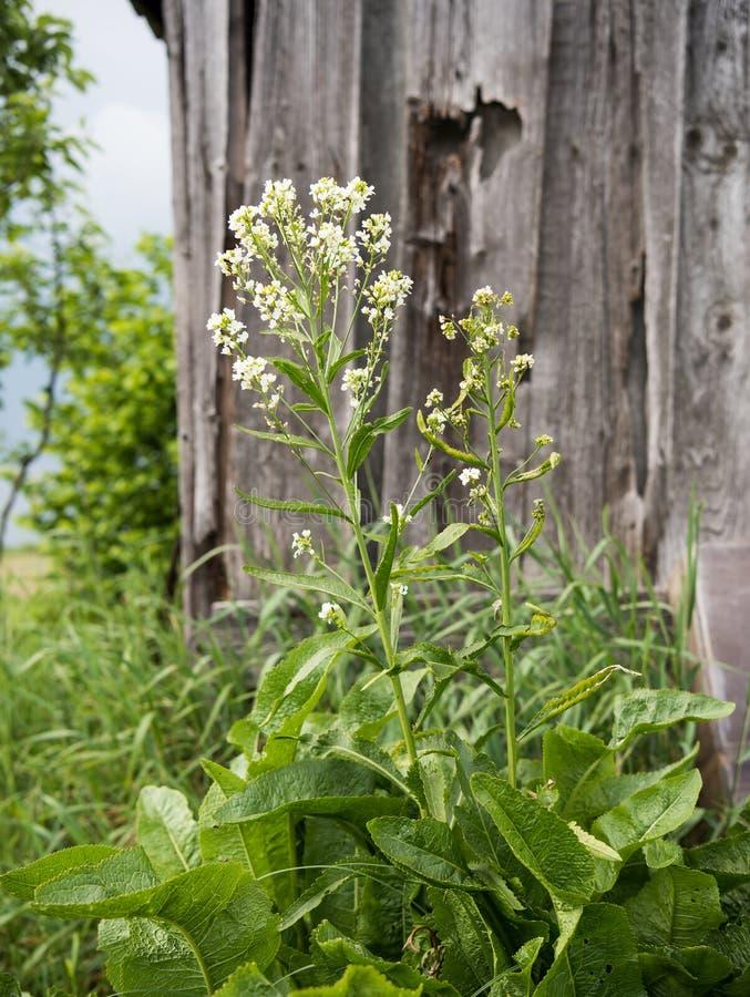 Feuilles et fleurs d'un raifort images libres de droits