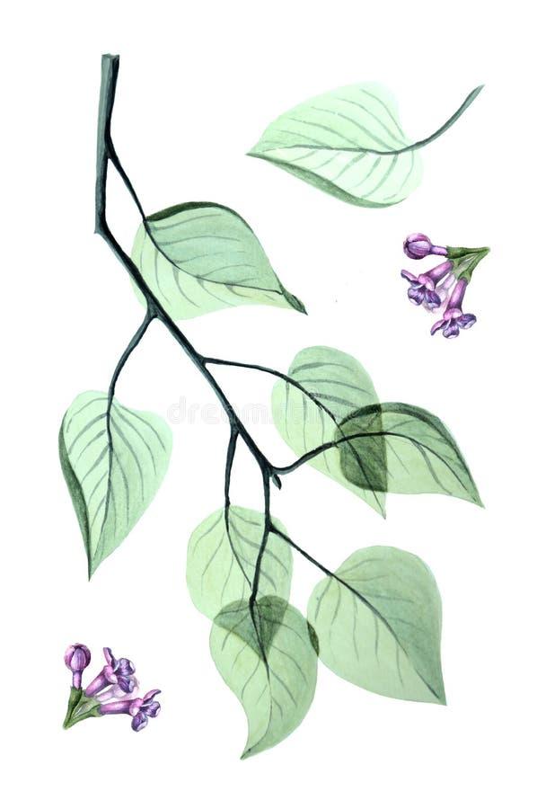 Feuilles et fleurs transparentes abstraites de lilas illustration libre de droits
