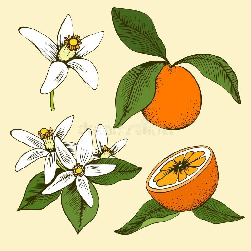 Feuilles et fruits oranges tirés par la main colorés de fleur illustration libre de droits