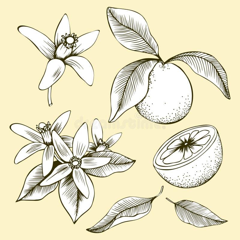 Feuilles et fruits oranges tirés par la main de fleur illustration de vecteur