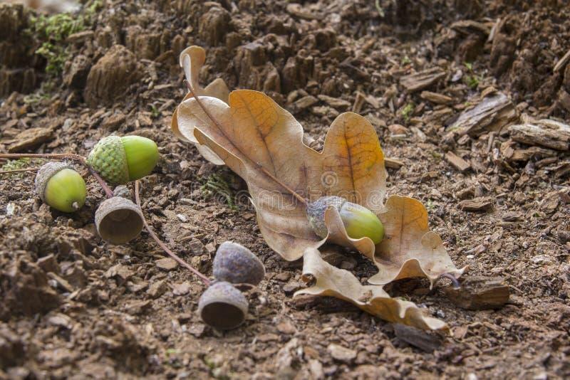 Feuilles et glands en bois de chêne Plan rapproché photo libre de droits
