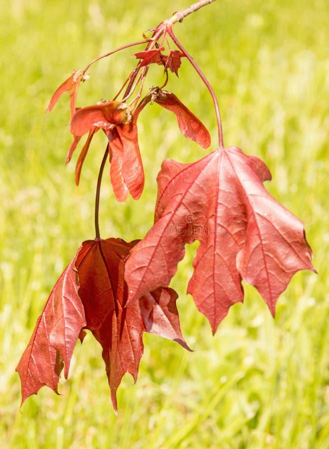 Feuilles et graines cramoisies de rouge du Roi Maple Tree photo libre de droits