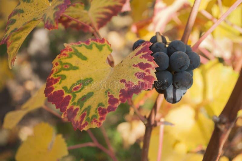 Feuilles et groupe de raisins automnaux de vigne dans un viney images stock
