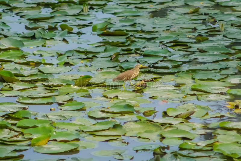Feuilles et oiseau de Lotus sur l'étang image libre de droits